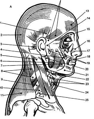 Двигательные точки лица и