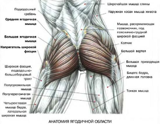 Строение ягодичных мышц