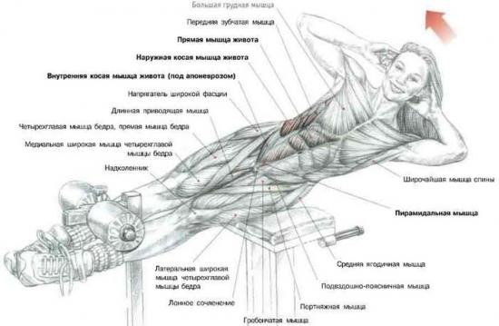 жир косых мышцах живота
