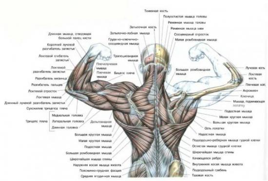 schouderbladspieren