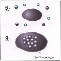 процессы липогенеза и липолиза