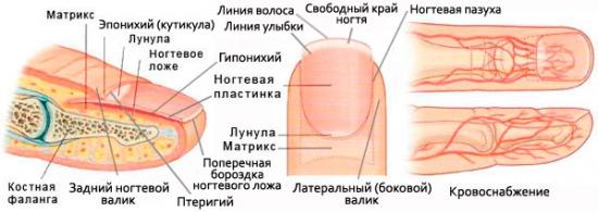 строение ногтя на ноге